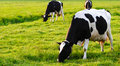 Grazing Cows On A Field Royalty Free Stock Photography - 5241777