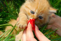 Feeding The Red Kitten Royalty Free Stock Image - 5246506