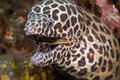 Cleaner Shrimp With Moray Eel Royalty Free Stock Photos - 5246748