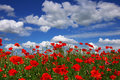Poppies On A Background Of The Blue Sky Royalty Free Stock Photography - 5247497