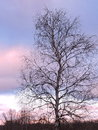 Birch Tree In Sunset Colors Sky Background Stock Photo - 52414310