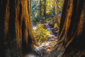 Muir Woods In Northern California Royalty Free Stock Image - 52434566
