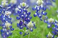 Bountiful Bluebonnets Stock Image - 52435211