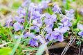 Sweet Violets Royalty Free Stock Photo - 52449875