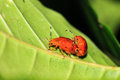 Red Leaf Beetles Madagascar Royalty Free Stock Photos - 52463458
