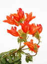 African Tulip Tree, Royalty Free Stock Photo - 52465175