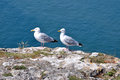 Herring Gull Royalty Free Stock Images - 52471459