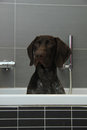 German Shorthaired Pointer In A Bathtub Stock Image - 52483831