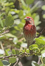 House Finch Stock Image - 52488171