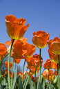 Orange Tulips Royalty Free Stock Photography - 5252707