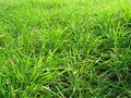 New Green Wheat Royalty Free Stock Photography - 5258597