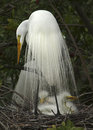 Great White Egret With Babies In Nest. Royalty Free Stock Images - 52533489