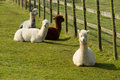 Group Of Alpaca By Diagonal Fence In Field Resting Lying Down Brown And White Royalty Free Stock Photo - 52552515