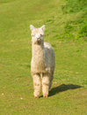 White Hairy Alpaca Standing Looking At Camera Stock Photos - 52553233
