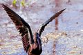 Glossy Ibis Royalty Free Stock Photo - 52559795