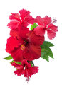 Red Hibiscus Flower Isolated On White Stock Image - 52573781
