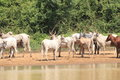 A Herd Of Cows In Ghana Royalty Free Stock Photo - 52595535
