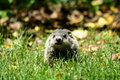 Baby Ground Hog In The Grass Stock Image - 5264171