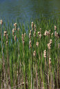 Cattails Stock Images - 5266824