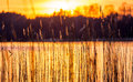 Reeds And Sundown Royalty Free Stock Images - 52611399