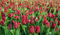 Red Tulips Field Stock Photography - 52624172