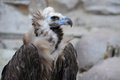 Black Vulture Stock Photo - 52631230