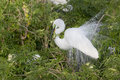 Great White Egret Royalty Free Stock Images - 52647269