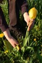 Cutting Tulip Royalty Free Stock Images - 5274549