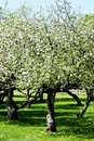 Apple Orchard Stock Image - 5276731