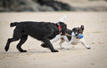 Dogs Playing On Beach Stock Photos - 52714283