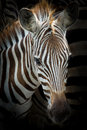 Zebra Royalty Free Stock Photo - 52725185
