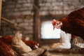 Chickens In The Coop Royalty Free Stock Photography - 52744357