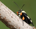 Eight Spotted Forester (Alypia Octomaculata) Stock Photography - 52747752