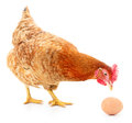 Brown Hen With Egg. Royalty Free Stock Photo - 52764195