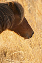 Wild Pony Grazing In Beach Grass At Assateague. Stock Images - 52774644