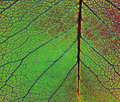 Leaf Veins Stock Photography - 5289482