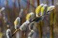 Fluffy Soft Willow Buds Royalty Free Stock Images - 52822069