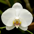 Bright White Orchid Flower In The Garden Stock Image - 52849831