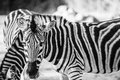 Zebra Grazing In The Wild Royalty Free Stock Images - 52849889