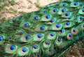 Peacock Feathers Pattern Stock Image - 5291701
