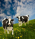 Cows Royalty Free Stock Photos - 5294198