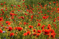 Red Poppies Stock Photos - 5295853
