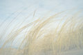 Yellow Grass On The Beach In The Spring In The Fog Stock Photo - 52903870