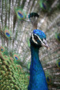 Peacock Royalty Free Stock Photography - 537627