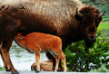American Bison Royalty Free Stock Photos - 5309968