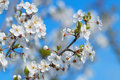 White Cherry Blossom Stock Images - 53022724