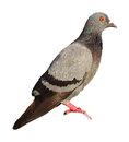 Pigeon Royalty Free Stock Photos - 53027788