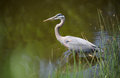 Blue Heron Royalty Free Stock Photography - 53051357