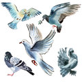 Set Of Birds Doves. Watercolor Illustration In White Background. Royalty Free Stock Photo - 53055935