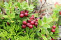 Cowberry Royalty Free Stock Photo - 53088165
